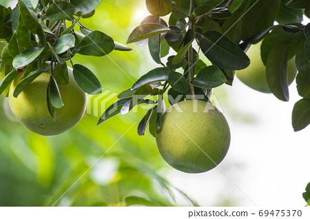 柚子樹,柚子,中秋,グレープフルーツの木、グレープフルーツ、中秋節、Grapefruit tree, 69475370