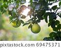 柚子樹,柚子,中秋,グレープフルーツの木、グレープフルーツ、中秋節、Grapefruit tree, 69475371