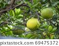 柚子樹,柚子,中秋,グレープフルーツの木、グレープフルーツ、中秋節、Grapefruit tree, 69475372