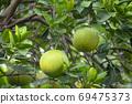 柚子樹,柚子,中秋,グレープフルーツの木、グレープフルーツ、中秋節、Grapefruit tree, 69475373