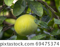 柚子樹,柚子,中秋,グレープフルーツの木、グレープフルーツ、中秋節、Grapefruit tree, 69475374