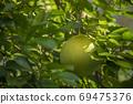 柚子樹,柚子,中秋,グレープフルーツの木、グレープフルーツ、中秋節、Grapefruit tree, 69475376