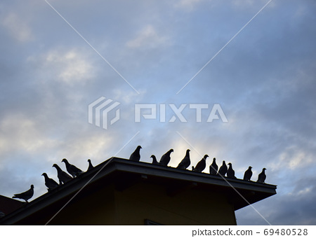 Pigeons at dawn, all on the roof of the pigeons, pigeons before flight 69480528