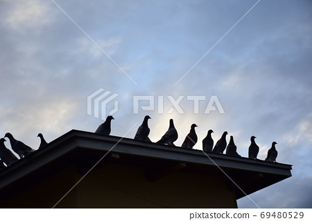 Pigeons at dawn, all on the roof of the pigeons, pigeons before flight 69480529