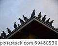 새벽 鳩舎 鳩舎 지붕에 집결 비상 전에 비둘기들 69480530