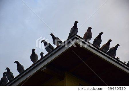 Pigeons at dawn, all on the roof of the pigeons, pigeons before flight 69480530
