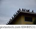 새벽 鳩舎 鳩舎 지붕에 집결 비상 전에 비둘기들 69480531
