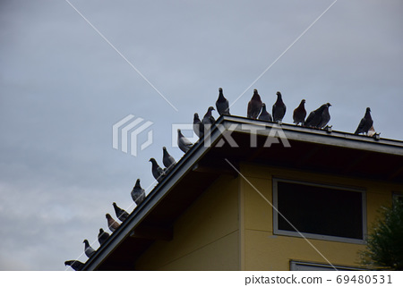Pigeons at dawn, all on the roof of the pigeons, pigeons before flight 69480531