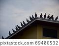 새벽 鳩舎 鳩舎 지붕에 집결 비상 전에 비둘기들 69480532