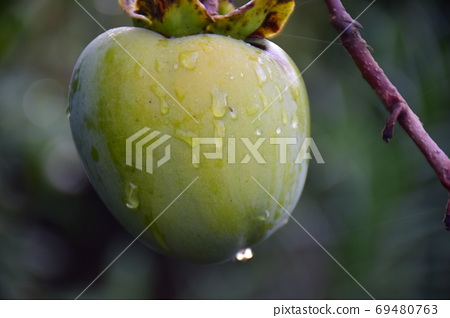 Pre-harvest persimmons, persimmons after the rain, persimmon fruits 69480763