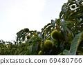 栗子果实,栗树景观,黎明时的栗田 69480766
