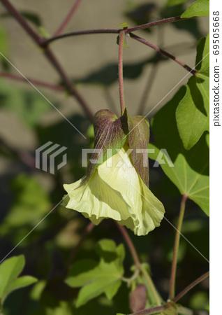 Levant cotton 69505668