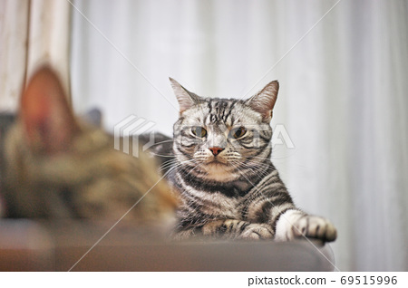 American Shorthair relaxing on the table 69515996
