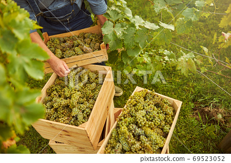 Vineyard worker sorting out wooden crates full of ripe grapes 69523052