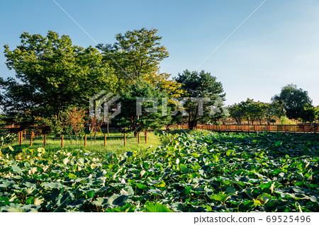 Lotus leaf field at Baramsae Village Picnic Garden in Pyeongtaek, Korea 69525496