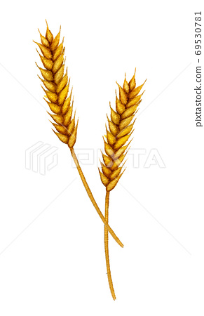 Vintage watercolor spikelets of wheat 69530781