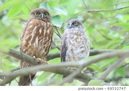 Heartwarming parent and child owl 69532747