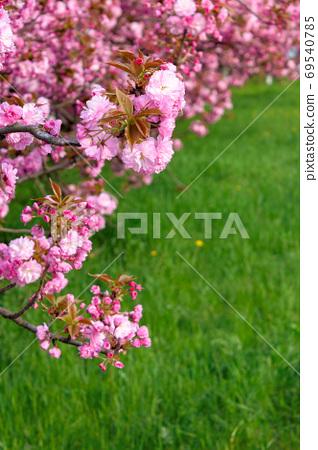 pink sakura blossom above the green grass. nature beauty in spri 69540785