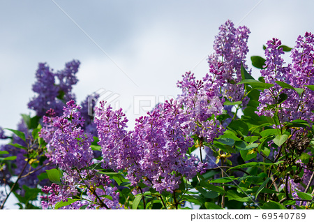 lilac blossom. beautiful scenery in the garden. sunny nature bac 69540789