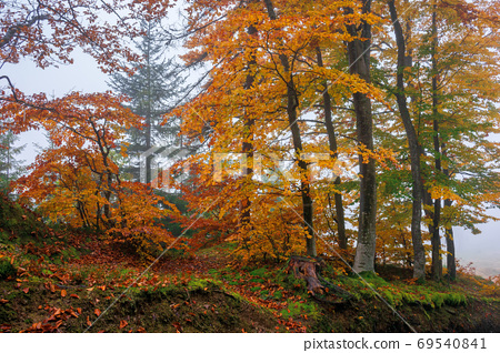 beech trees in colorful foliage. misty forest scenery. colorful 69540841