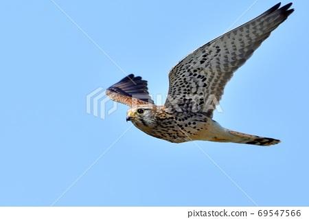 成年蝴蝶養育兒童飛行尋找食物在藍藍的天空背景下 69547566