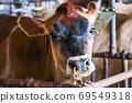 棕色母牛面朝上 69549318