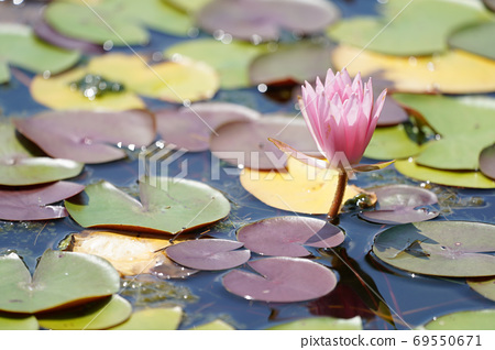 Water lily 69550671