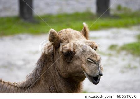 一隻快樂的駱駝 69558630