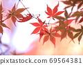Maple 69564381