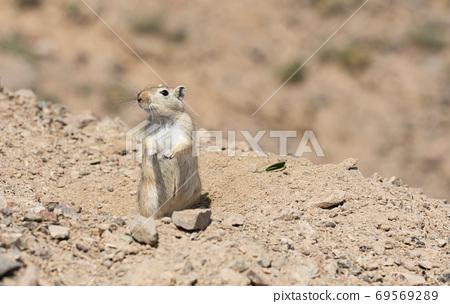 Gerbil Charyn Canyon Kazakhstan 69569289