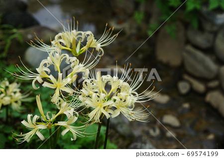 September Fuchu 150 White Flower Manjushage (Amaryllidaceae), Amaryllidaceae, Local Forest Museum 69574199