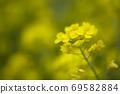 봄날 유채꽃 밭에서 69582884