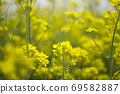 봄날 유채꽃 밭에서 69582887