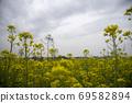 봄날 유채꽃 밭에서 69582894