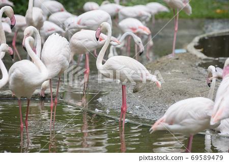 Flamingo in Thailand Zoo 69589479