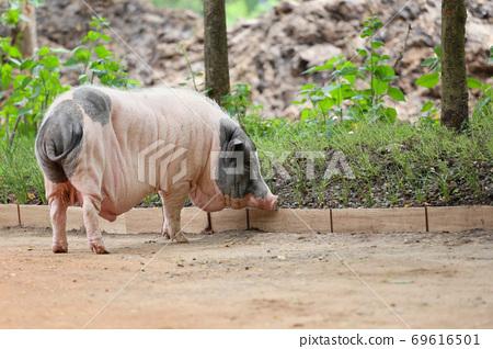 Big old wild boar. 69616501
