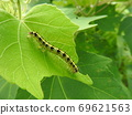 """到达茧的昆虫害虫""""Fatatogarikoyaga""""的幼虫 69621563"""
