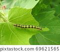 """到达茧的昆虫害虫""""Fatatogarikoyaga""""的幼虫 69621565"""