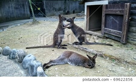 Kangaroo 69622856