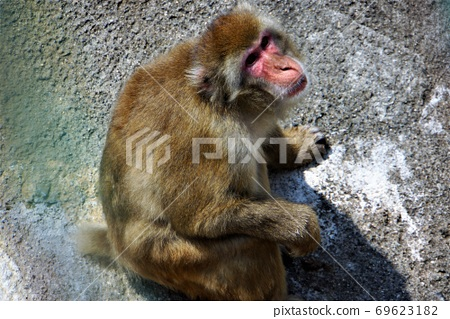 """Primates, Japanese macaques-A large set of animals at """"Hitachi Kamine Zoo"""" 69623182"""