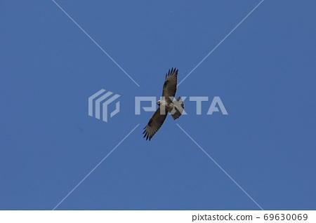 Buzzard flying in the blue sky 69630069