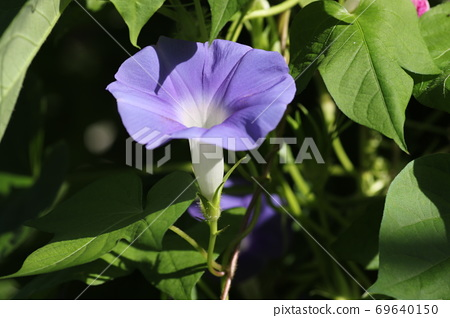 Blue morning glory flower that bloomed in the early morning 69640150
