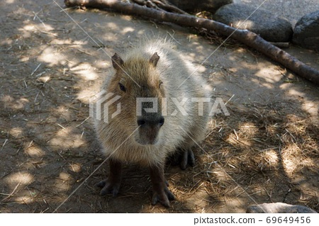 """A large collection of animals from the healing idol """"Capybara""""-""""Hitachi Kamine Zoo"""" 69649456"""