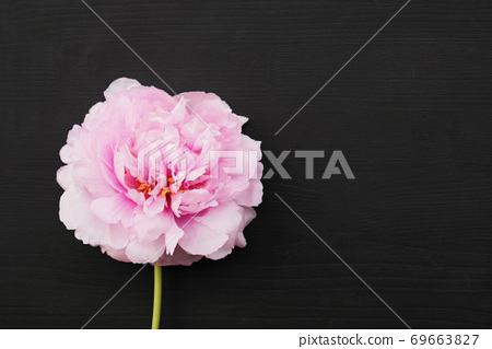 Single fresh and fluffy beautiful pink peony flower in full bloom. 69663827