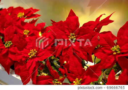 Poinsetia通知聖誕節 69666765