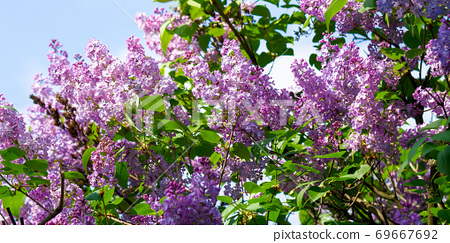 lilac blossom. beautiful scenery in the garden. sunny nature background in springtime 69667692