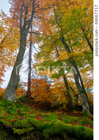 beech trees in colorful foliage. misty forest scenery. colorful foliage. nature background 69667717