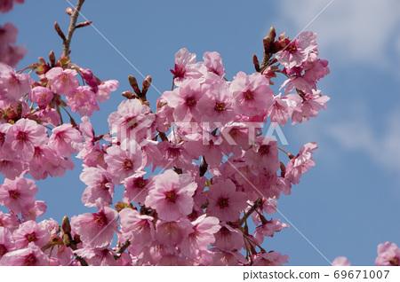꽃 양귀비 69671007