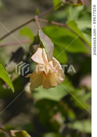 Levant cotton 69677856
