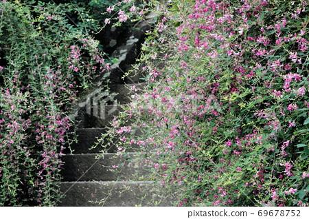 Hagi flowers blooming on the stone steps of Kaizoji, Kamakura 69678752
